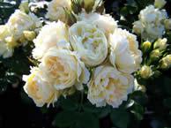 Rosa Sweet Memories