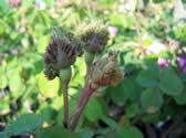 Rosa centifolia Cristata buds