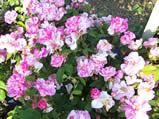 Rosa damescena Versicolor