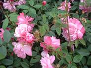 Rosa odorata Pallida