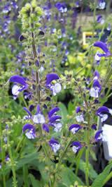 Salvia Madelaine