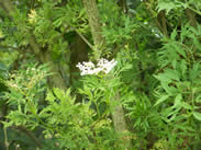 Sambucus nigra laciniata