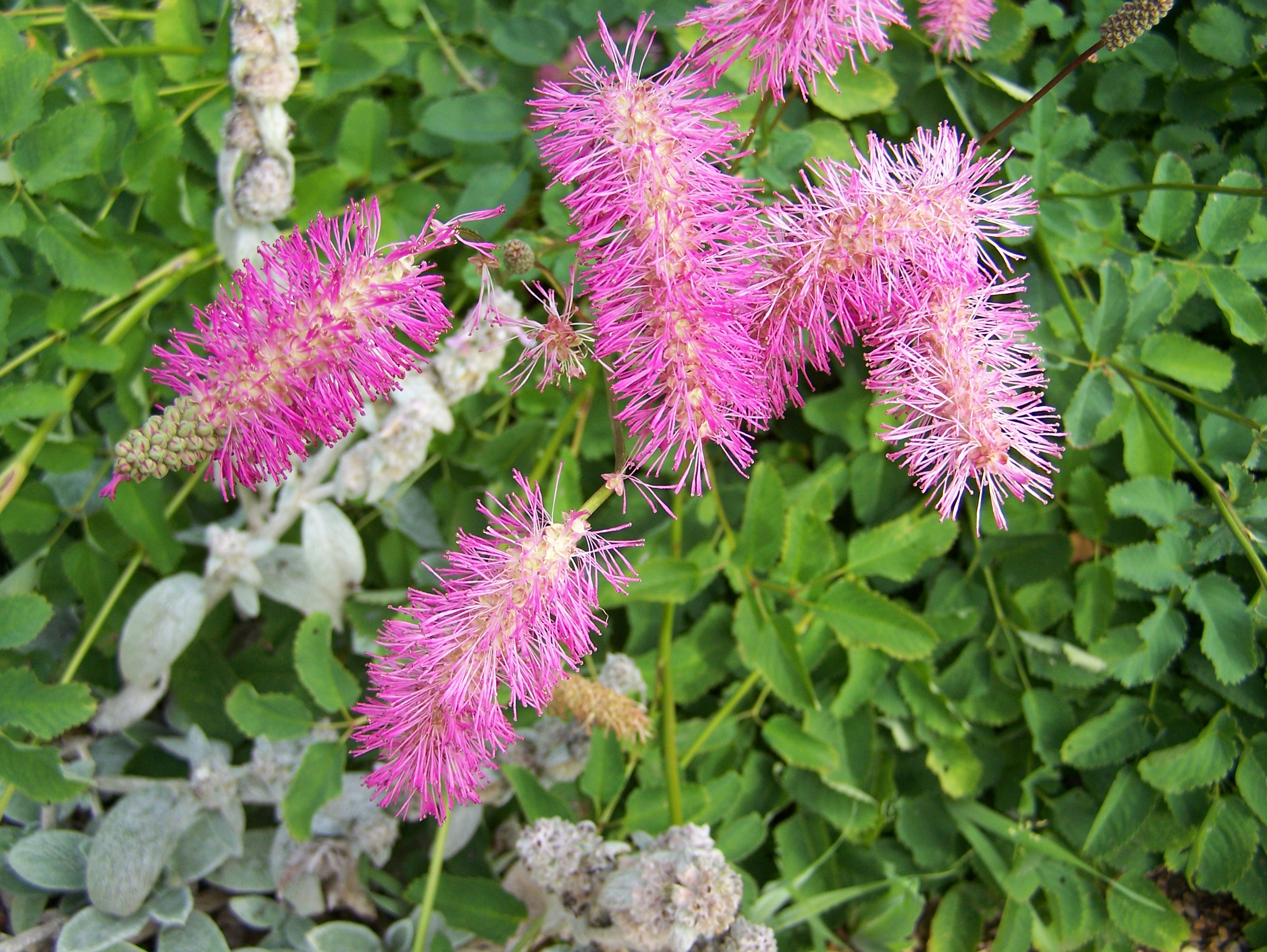 buy sanguisorba canadensis menziesii obtusa officinalis and tanna by mail order