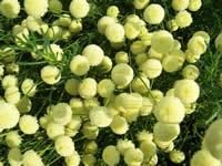 Santolina rosmarinifolia Primrose Gem