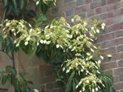 Schizophragma intergrifolium