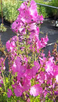 Sidalcea Rose Queen