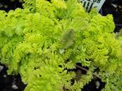 Tanacetum  vulgare Golden Fleece