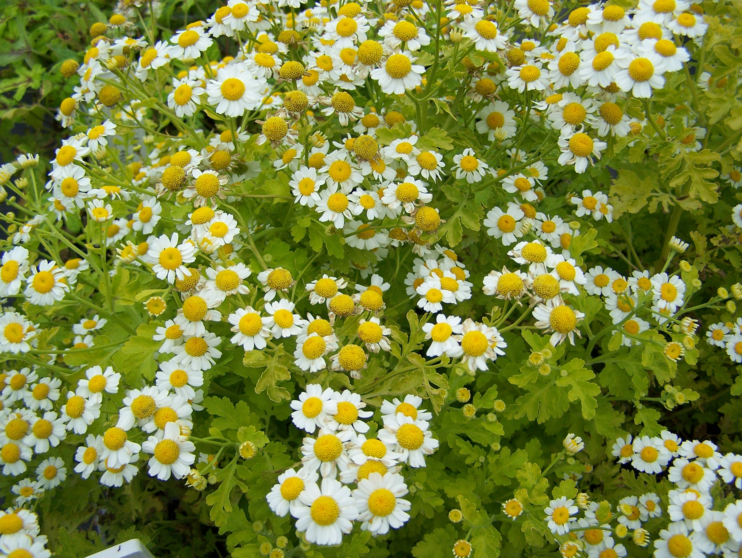 feverfew plant - photo #48