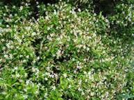 Trachleospermum asiaticum