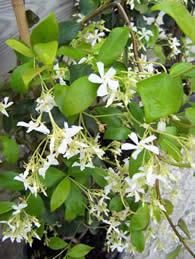 Trachleospermum jasminoides