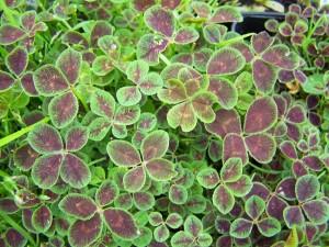 Trifolium repens Quadrifolium