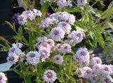 Verbena rigida f. lilacina Polaris