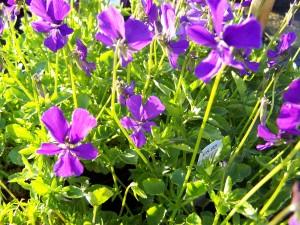 Viola cornuta Violet