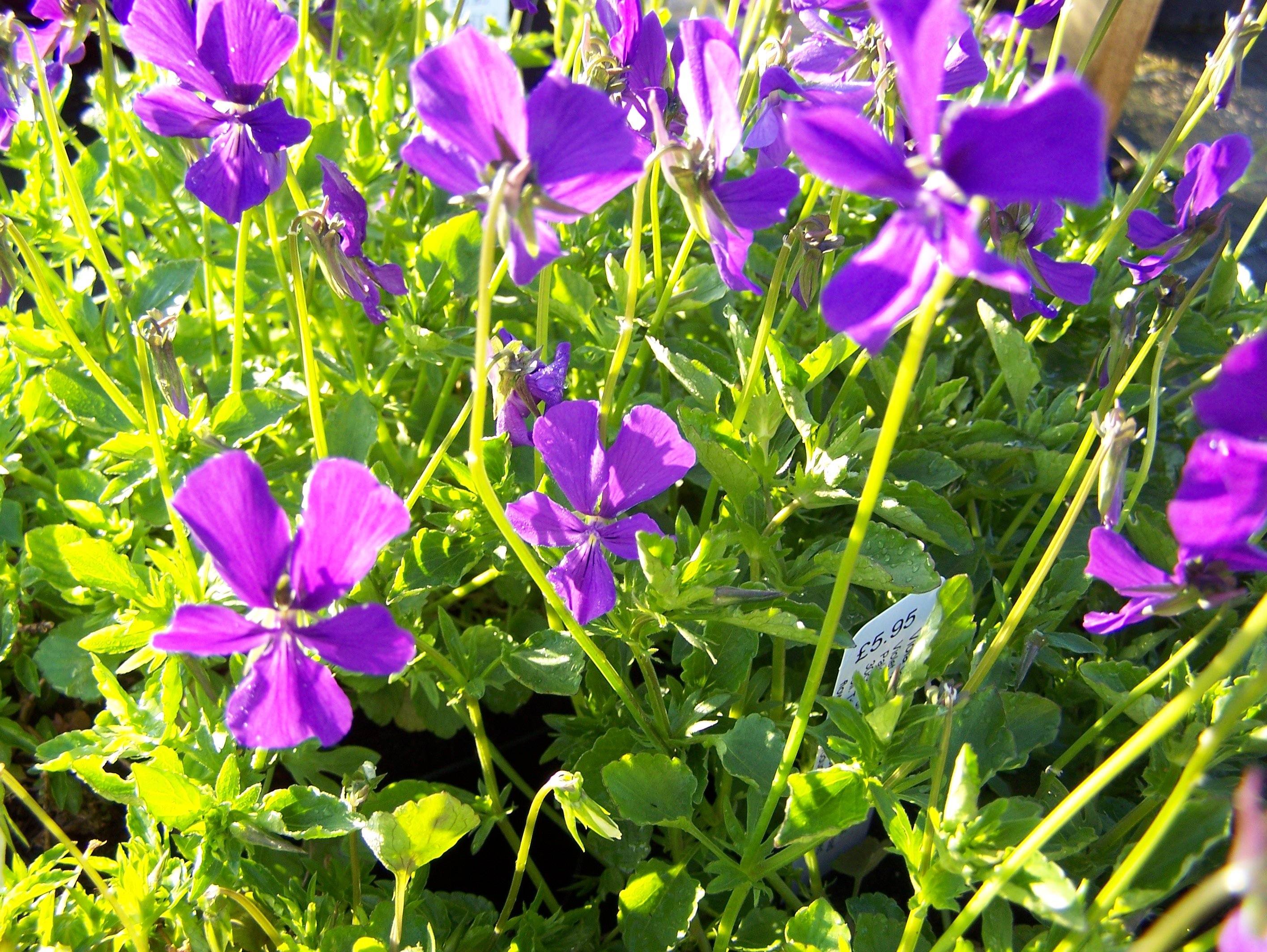 Viola in variety available to buy by mail order for Viola cornuta