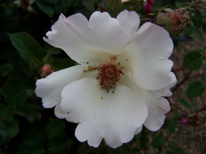 Rosa Ellen Wilmott