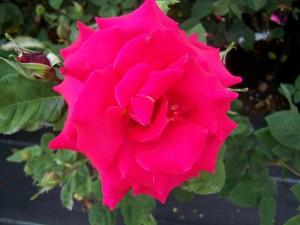 Rosa Ernest Morse