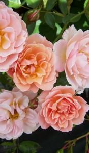 Роза суссекс