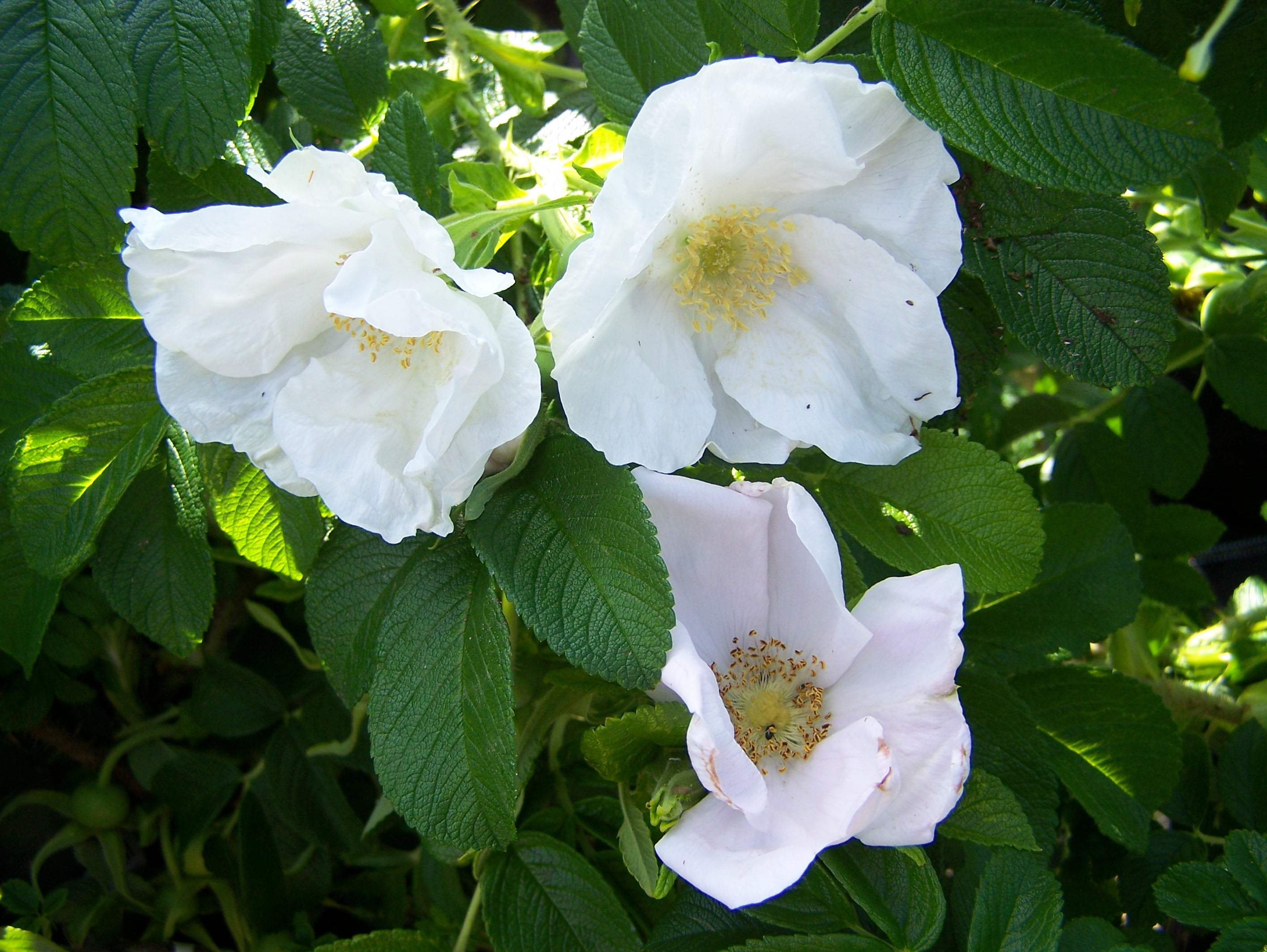buy rosa rugosa alba by mail order from perryhill nurseries. Black Bedroom Furniture Sets. Home Design Ideas