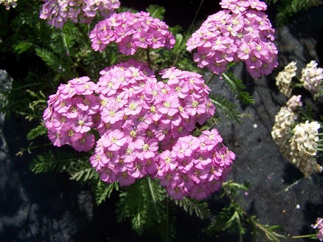 Achillea millefolium 'Sunny Seduction' - Plant Finder
